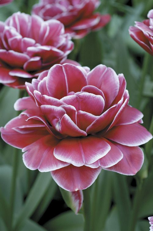 """Double Tulip """"Dream Touch"""""""