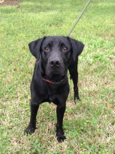 Adopt Ty 4 on Labrador retriever, Labrador, Black labrador