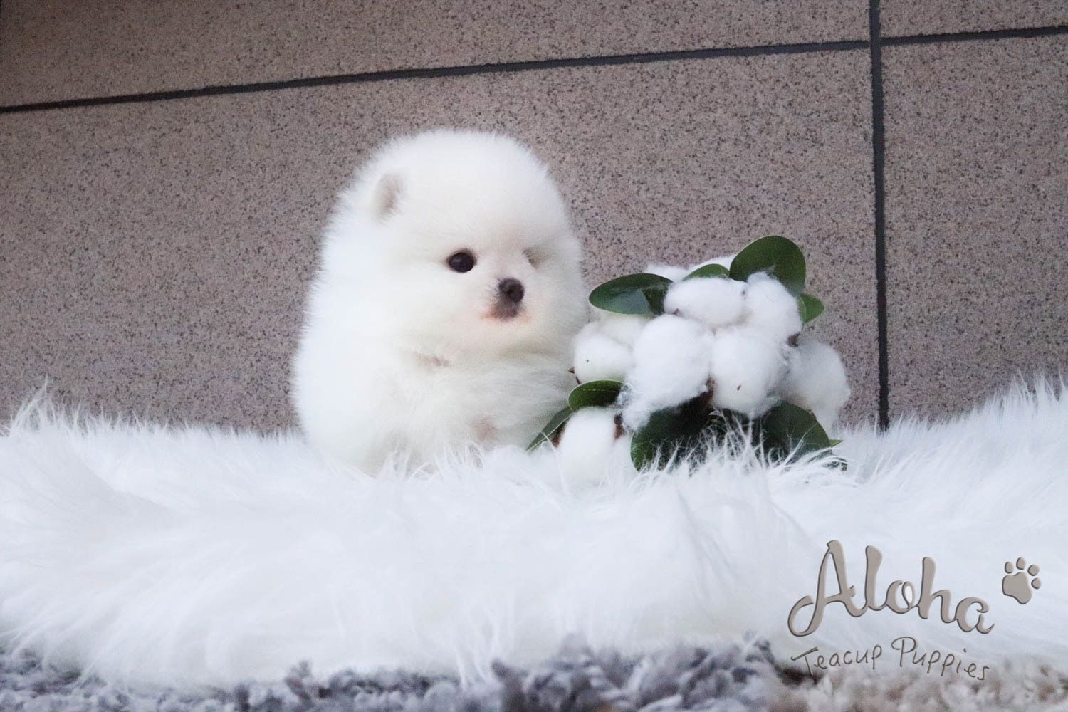 Pomeranian Rolly Teacup Puppies in 2020 Puppy images