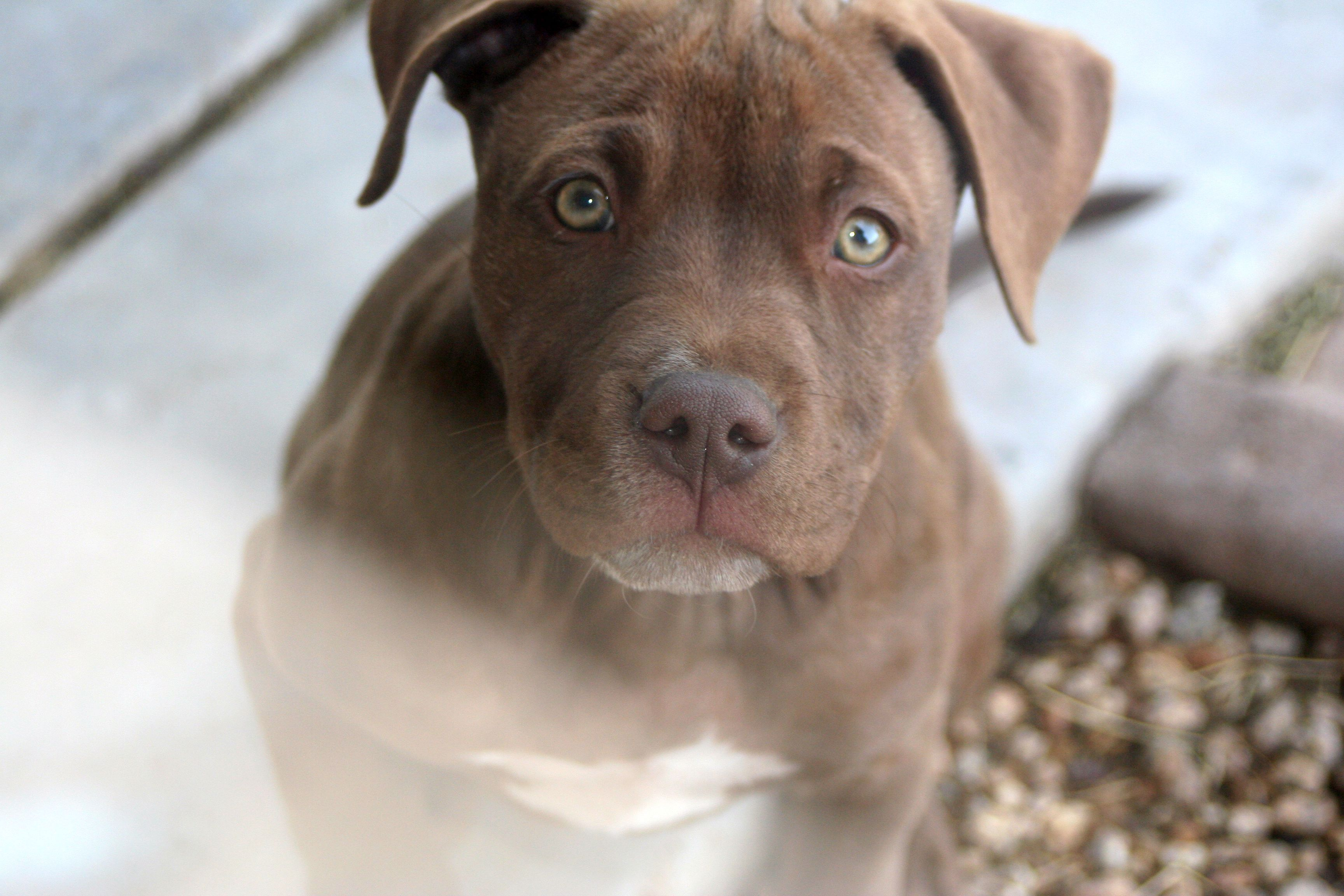 Fawn Red Nose Pitbull Puppy