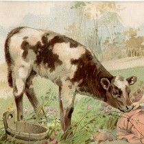Free Vintage Calf Image from the Graphics Fairy.