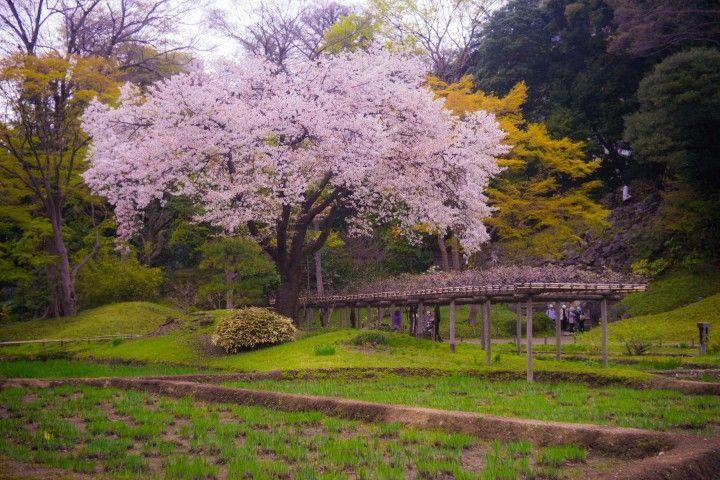 عجائب فصل الربيع صور خلابة لزهور الكرز في اليابان عالم الإبداع Outdoor Cherry Blossom Vineyard