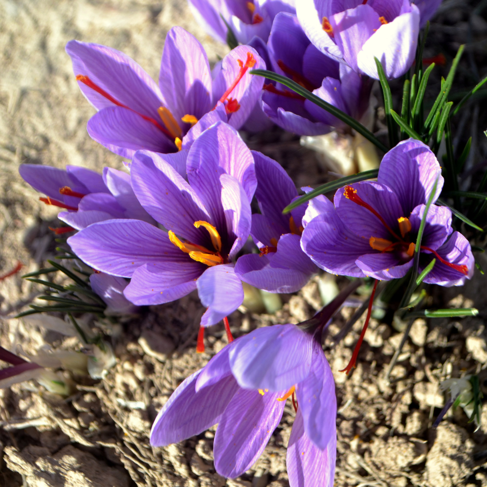 Flavors of Morocco Saffron in 2020 Parts of a flower