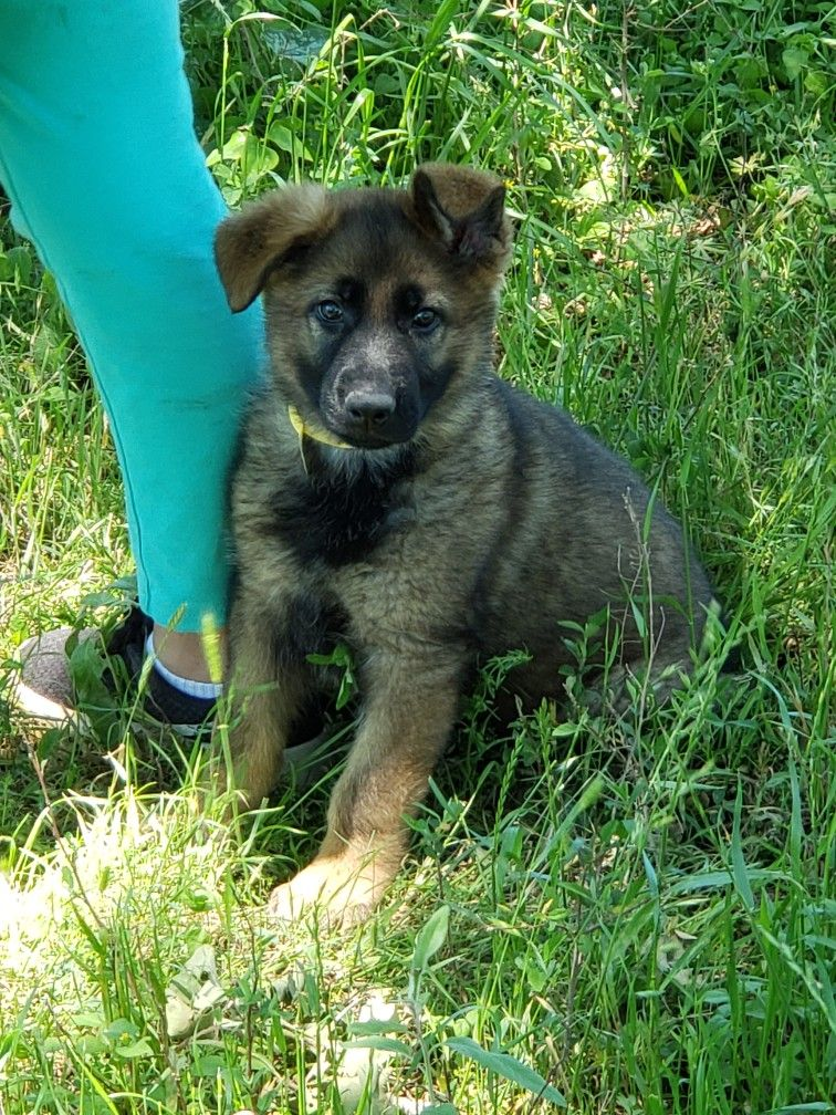 AKC German Shepherd puppy, born 2/20/19 Sable, workingline