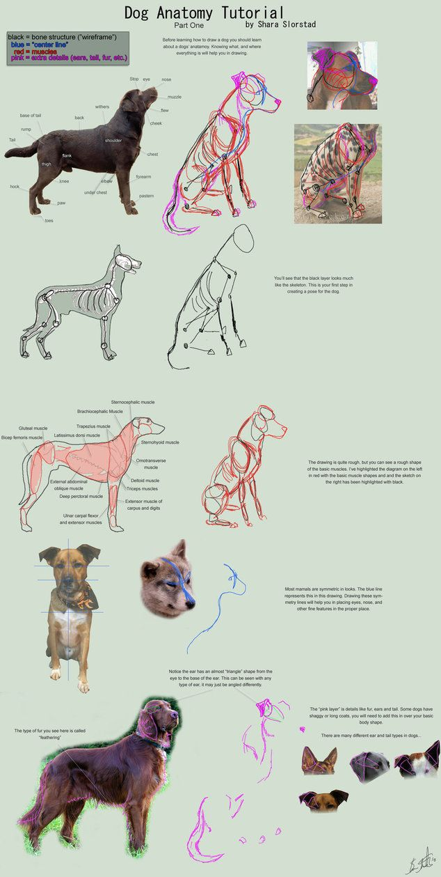 The Third Part In The Dog Anatomy Tutorial Focusing On Basic Body