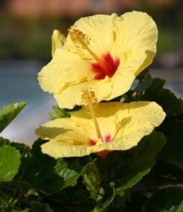 Hibiscus : conseils d\'entretien, culture et arrosage | Arrosage ...