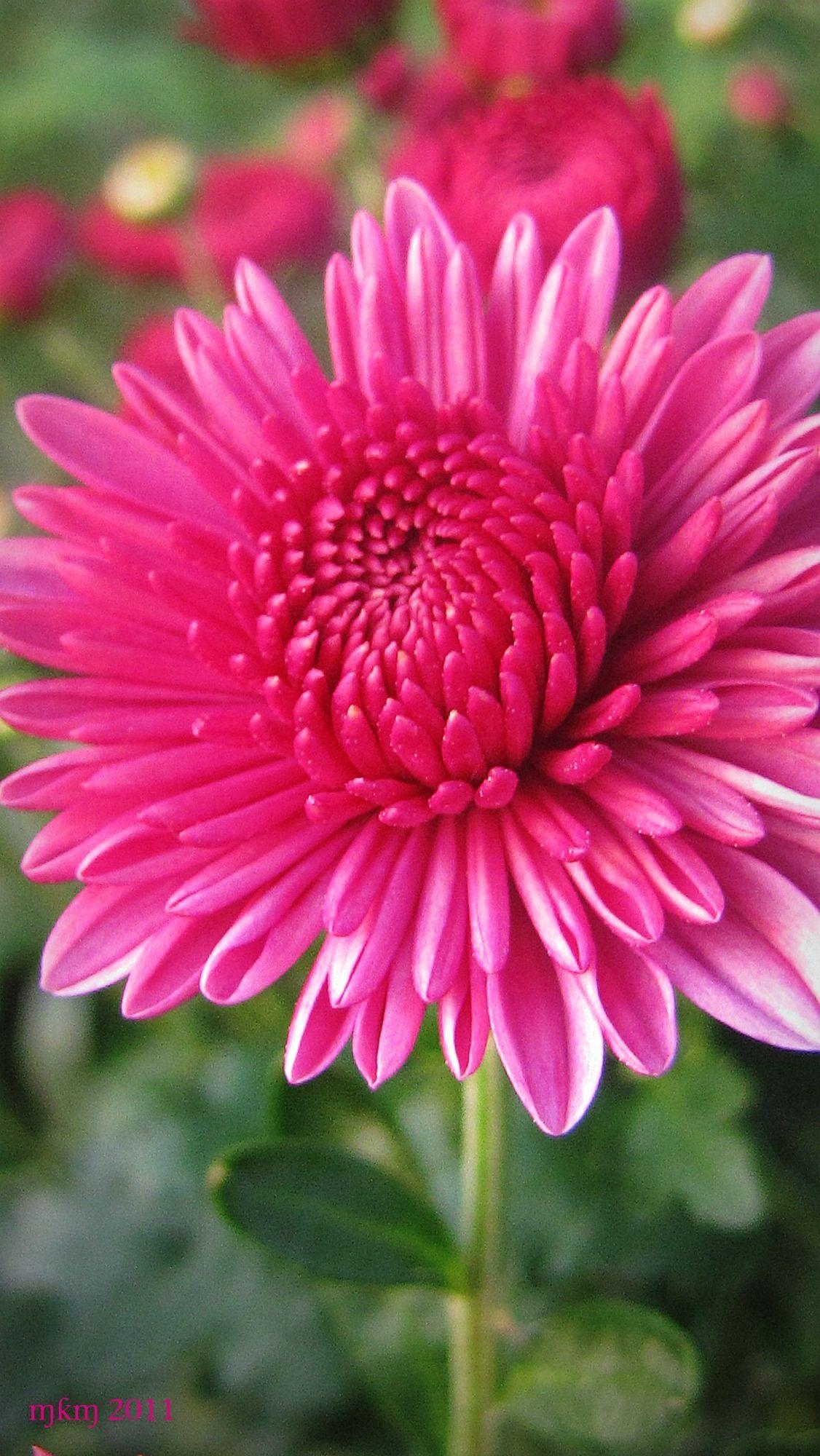 Chrysanthemum Chyrsanthemums are another flower that make