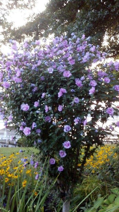 Rose of Sharon Tree in my Garden.   Rose of sharon tree, Side garden, Rose of sharon