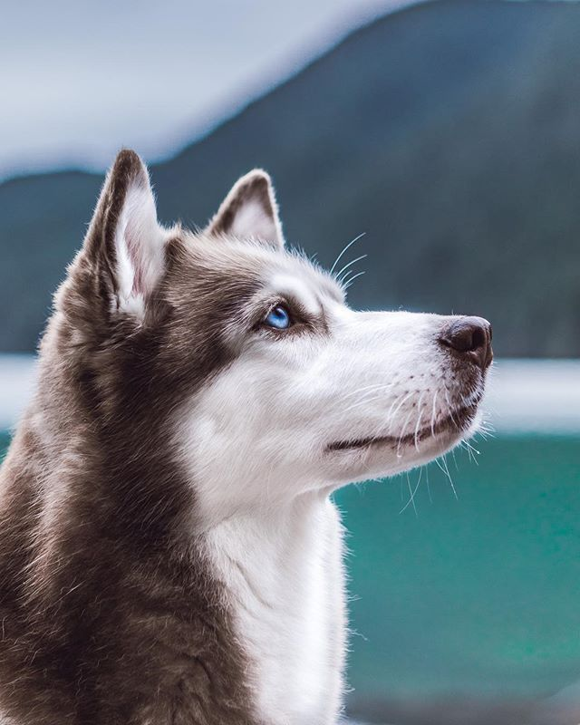 Pin By The Southern Petite On Puppies Siberian Husky Training