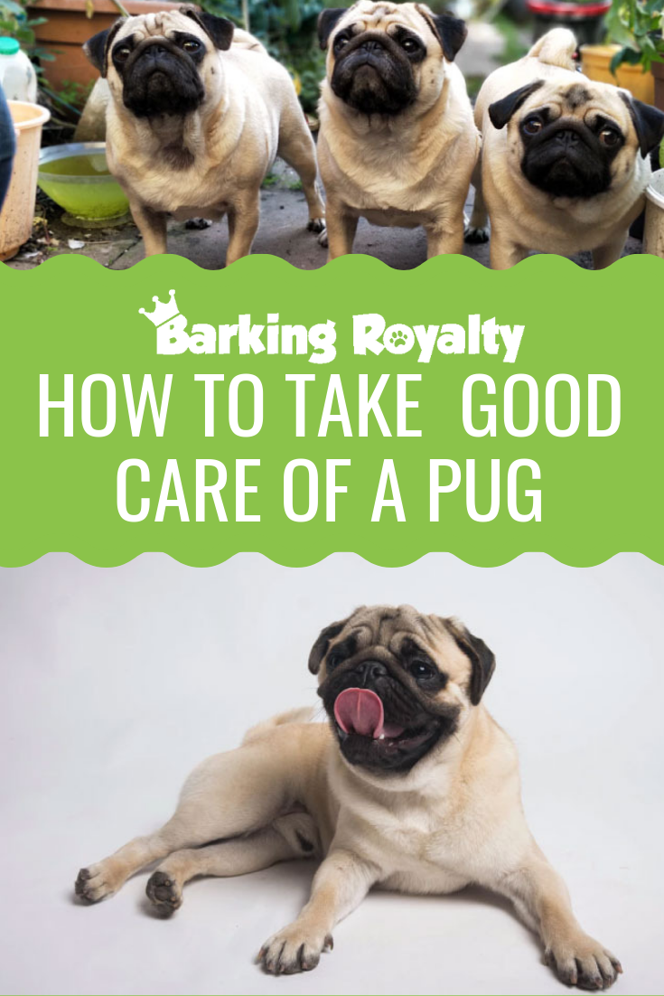 How To Take Care Of Your Pug?