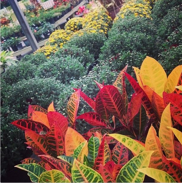 Fall is here! Mums and Crotons / Pike Nurseries Instagram