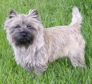 Cairn Terrier Like Toto From The Wizard Of Oz Cairn Terrier