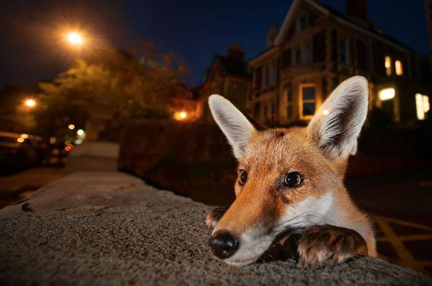 Young Fox, Bristol, Uk