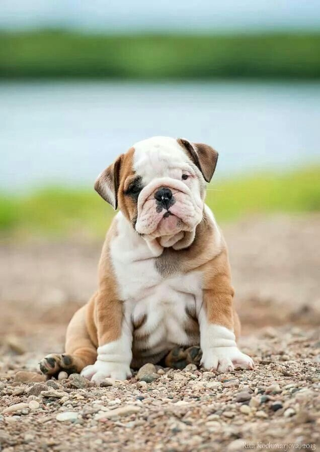 Bulldog Pic Of The Day Bulldog Puppies English Bulldog Puppies
