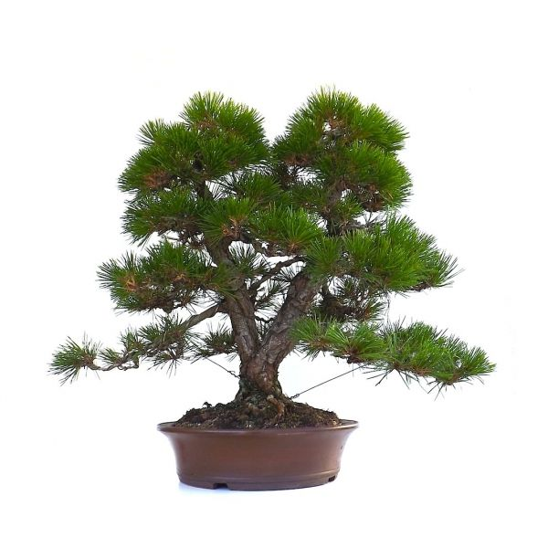 vente en ligne de bonsai pinus thunbergii pin noir du japon sokan 55 cm sankaly bonsa. Black Bedroom Furniture Sets. Home Design Ideas