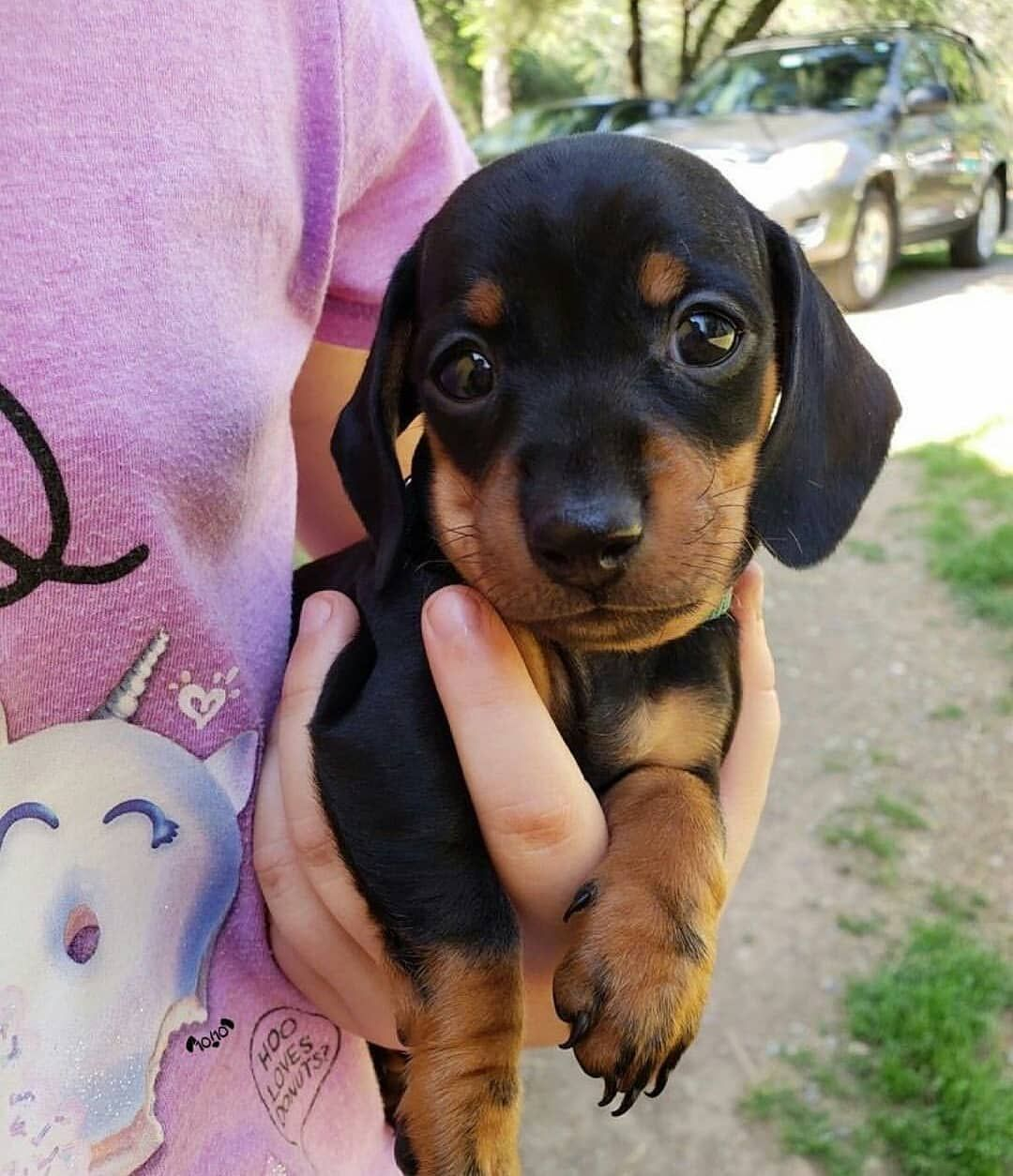 Cute Black And Tan Dachshund Puppy If You Love Dachshunds