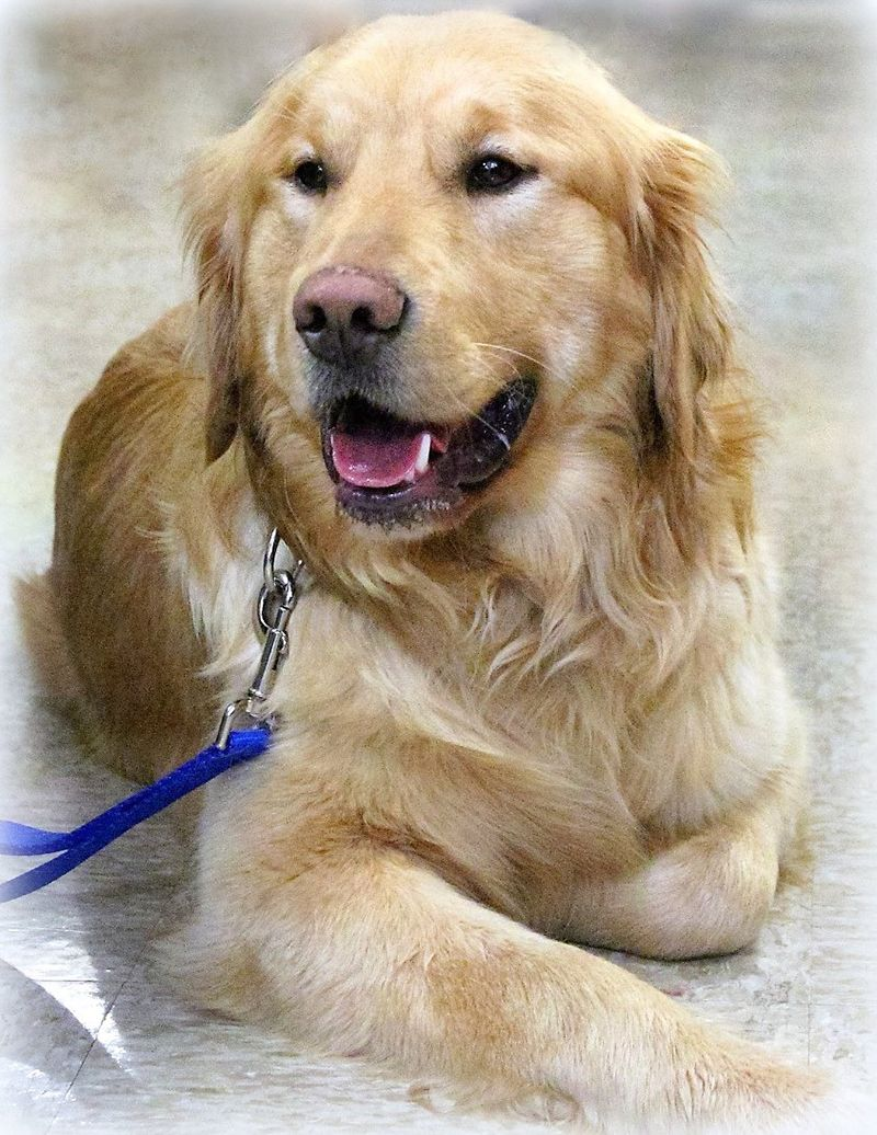 Pin By Misti Kane On Safe Rescued Or Adopted Animals Golden
