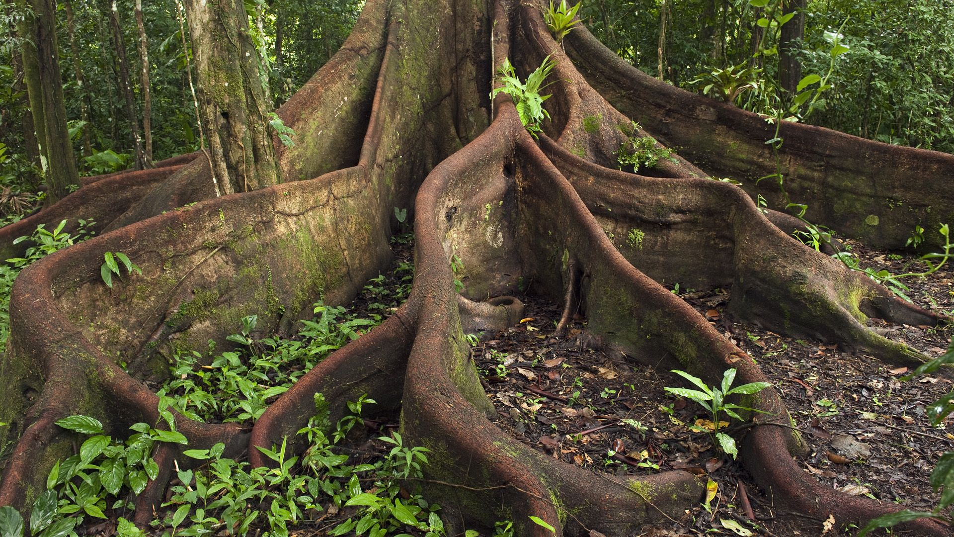 amazon rainforest trees clipart. buttress roots of a ficus tree these are so cool and can be taller than amazon rainforest trees clipart