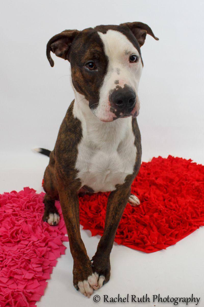 Adopt Tygah on Terrier mix, Pitbull terrier, Dog adoption