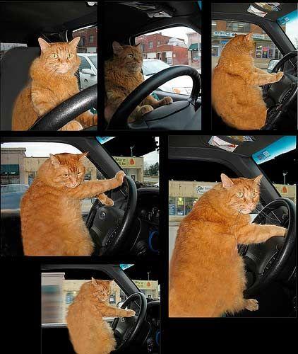 cat driving car fat orange cat driving car cats. Black Bedroom Furniture Sets. Home Design Ideas
