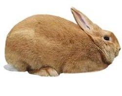 Lynx palomino rabbit