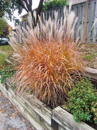 MISCANTHUS PURPURASCENS FLAME//SILVER GRASS  ARCHITECTURAL AUTUMN COLOUR