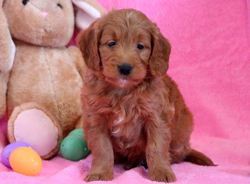 Goldendoodle Miniature Puppy For Sale In Mount Joy Pa Adn 71054 On Puppyfinder Com Gender Fem Miniature Puppies Puppies For Sale Mini Goldendoodle Puppies