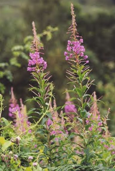 Heather  A tea made of heather blossoms is used to suppress coughing, and as an aid for sleeplessness. A stronger infusion is used to treat urinary...