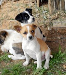 Adopt Tommy on (With images) Chihuahua dogs, Rat terrier