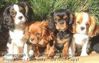 Anga S Star Kennels Eulenburg Ckcs King Charles Spaniel Spaniel Dog Cavalier King Charles Spaniel