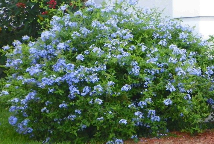 Blue plumbago flowers pinterest landscaping gardens for Flowering landscape plants