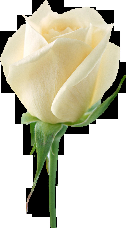 Whiterosespng2785g 14462618 my favorites pinterest whiterosespng2785g 14462618 white rose mightylinksfo