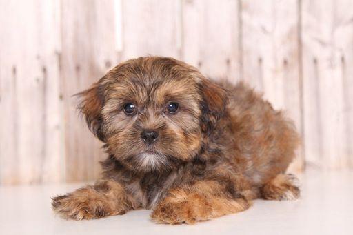 Shorkie Tzu Puppy For Sale In Mount Vernon Oh Adn 43880 On Puppyfinder Com Gender Female Age 9 Weeks Old Puppies For Sale Puppies Shorkie Tzu