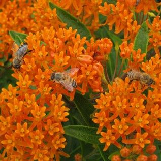 Erfly Weed Seeds Full Sun Perennials And