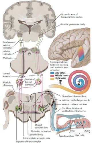 Auditory System Pathways - Health, Medicine and Anatomy Reference ...