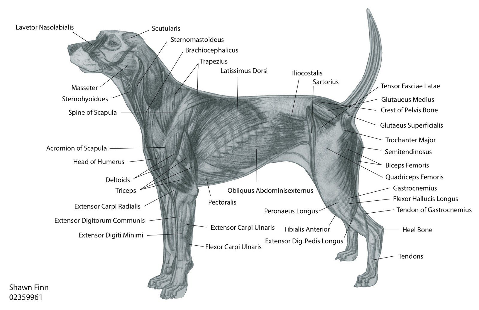 veterinary dog diagram