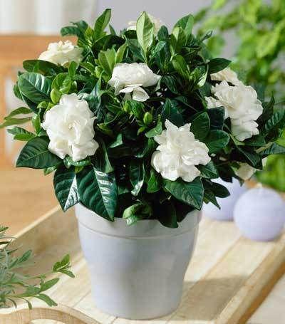 Dwarf Radicans Gardenia Shrub Indoor Flowers Plants Jasmine Plant