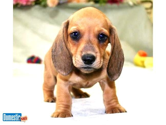 Akc Mini Dachshund Puppies In 2020 With Images Dachshund Puppies For Sale Dachshund Puppies Puppies