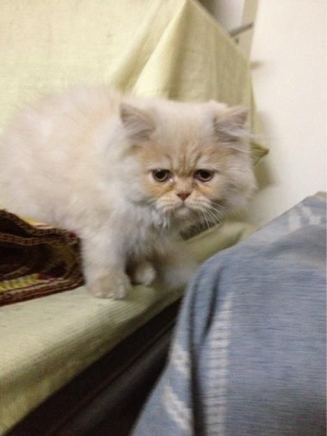 Persian Kitten For Sale Male 3 Months In Fawn 10 Nd White Color 90 Original Pics Are Attached Punched Fa Persian Kittens Persian Kittens For Sale Pet Birds