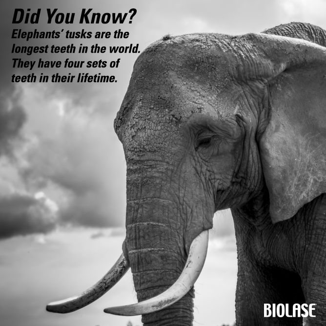 didyouknow  elephants u2019 tusks are  thelongestteeth in the