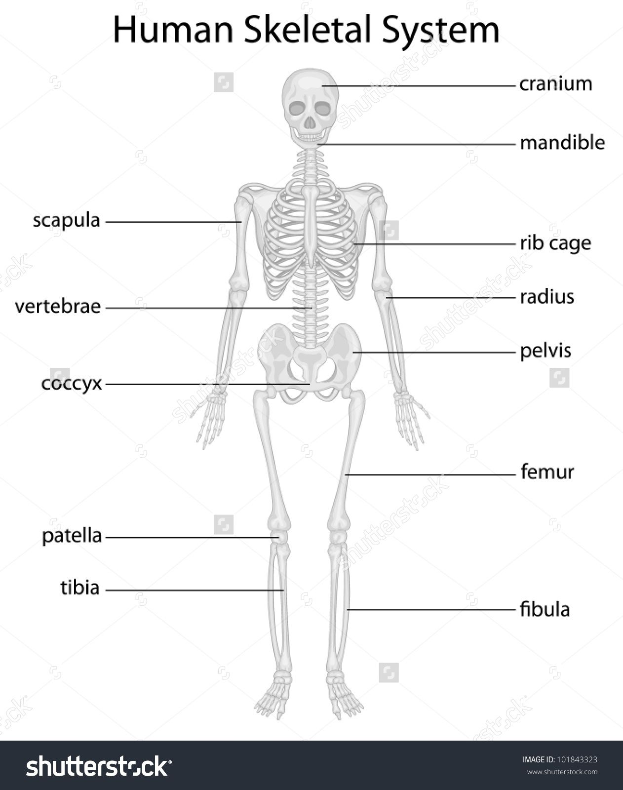 The Skeletal System Diagram Labeled The Skeletal System Diagram