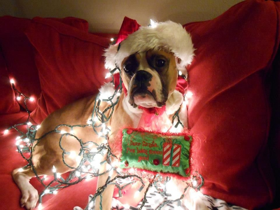 Merry Christmas with lots of boxer love Boxer love
