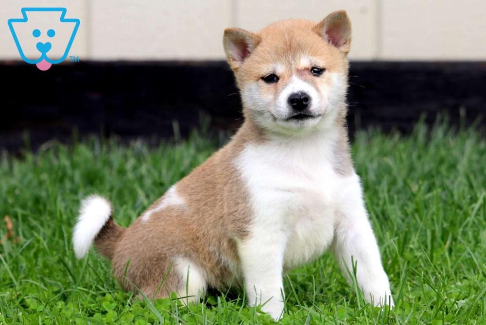 Homer Shiba Inu Puppy For Sale Keystone Puppies Shiba Inu Puppy Shiba Inu Puppies