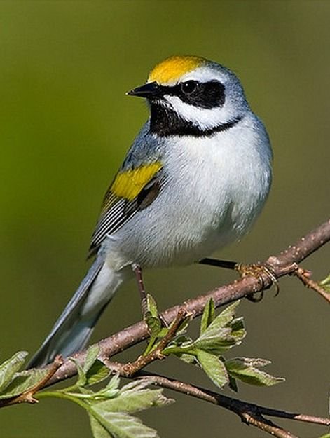 Golden-winged Warbler (Vermivora chrysoptera). A small migratory bird that breeds in noth central North America. Due to habitat loss and competition with the Blue-winged Warbler, it is listed near-threatened  photo: Glenn Bartley.