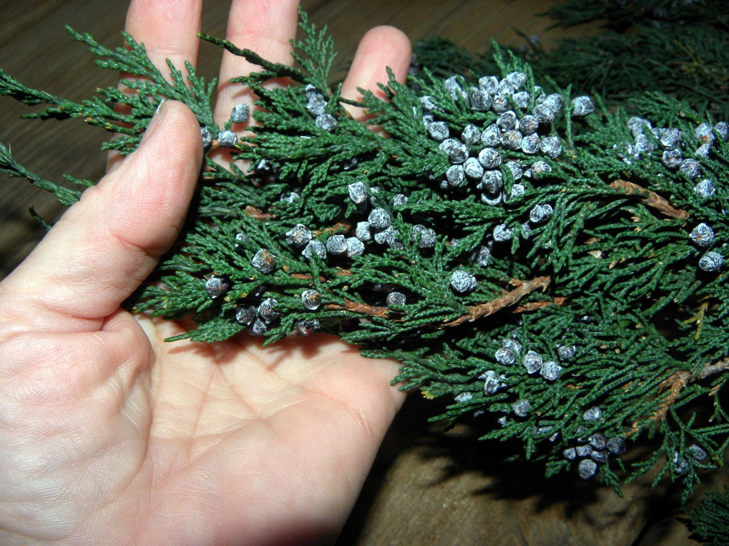 Blueberry Juniper Branches Preserved-Christmas tree boughs ...
