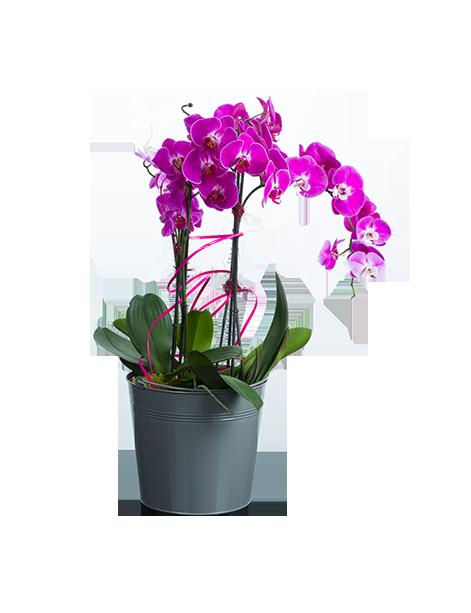 orchidee a offrir