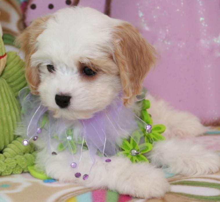 Quality Cavachons Bred For Non Shed Hypoallergic Coats Foxglove Farm Cavachon Puppies Cavachon Puppy Friends
