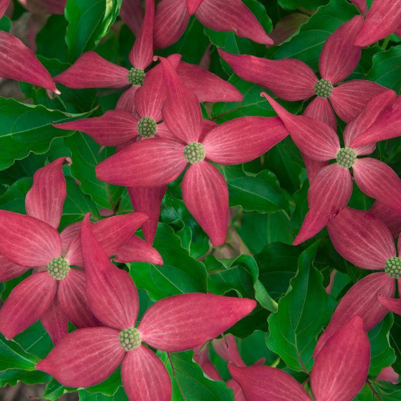 Scarlet Fire Dogwood Cornus Kousa Scarlet Fire Spring Hill Nursery Dogwood Tree Landscaping Oriental Flowers