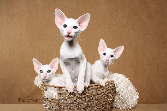 Oriental Shorthair Starrlightphotography Com Oriental Shorthair Cats Oriental Shorthair Kittens Oriental Shorthair