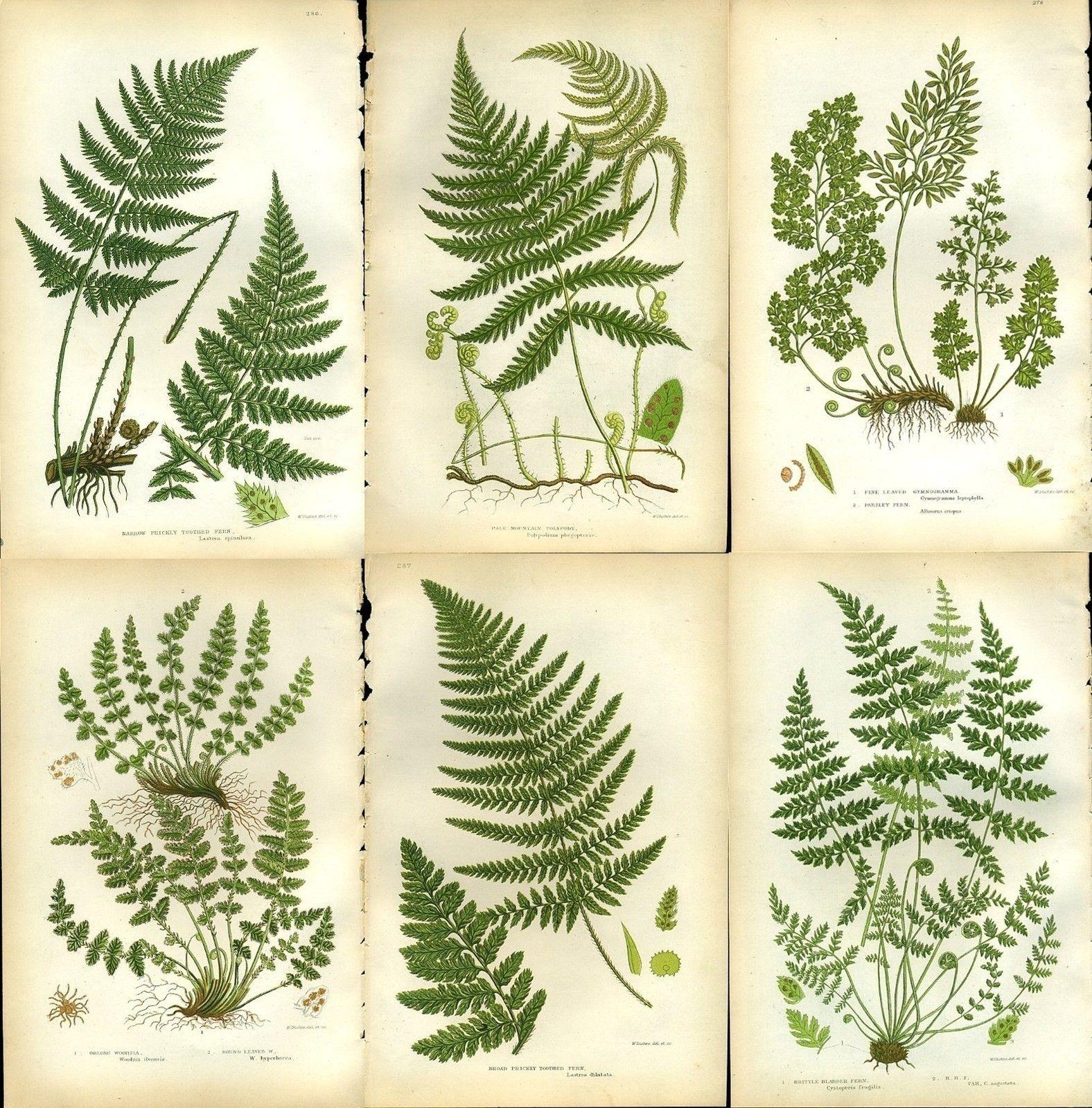 No 69 Green Fern Frond Antique Fern Chromolithograph ORIGINAL Print Chartreuse Mountain Fern Summer Antique 1880 Edward Lowe Fern